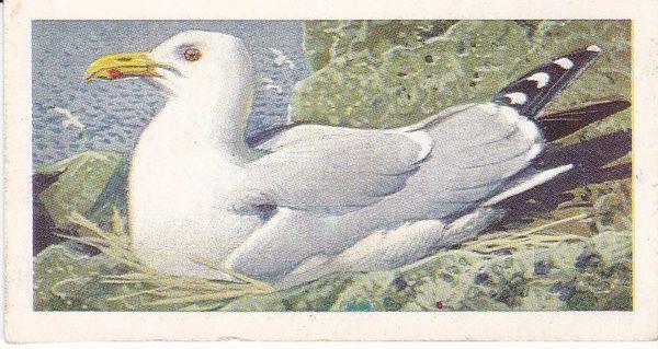 No. 44 Herring Gull