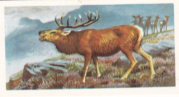 Brooke Bond Tea Ltd. No. 04 The Red Deer