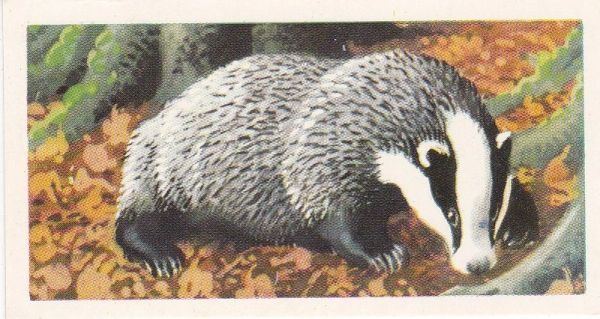 Brooke Bond Tea Ltd. No. 10 The Badger or Brock