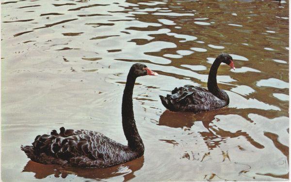 Post Card Devon Dawlish Black Swans PT1635