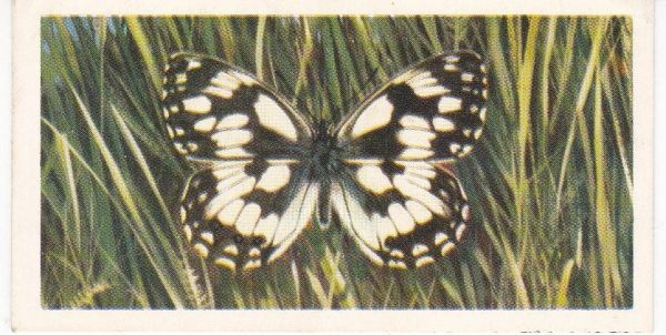 No. 05 Marbled White
