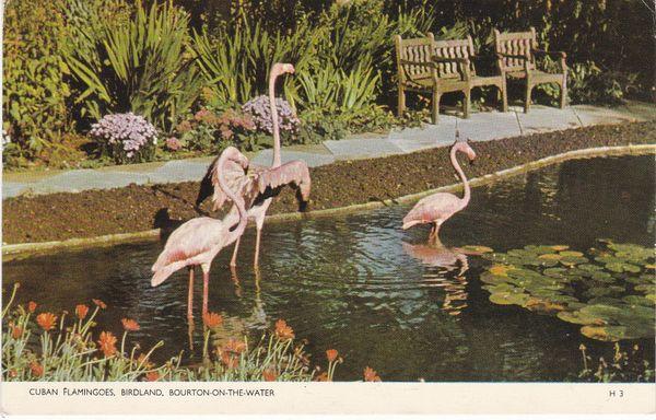 Post Card Gloucestershire BOURTON-ON-THE-WATER BIRDLAND Cuban Flamingoes Jarrold Cotman-Color H 3