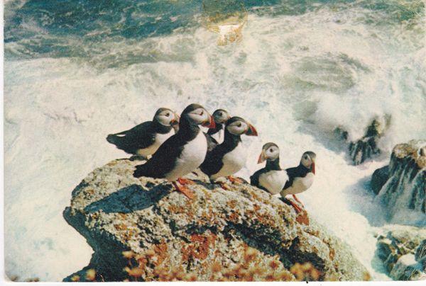 Post Card birds PUFFINS J. Arthur Dixon W.L. 1175