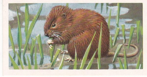 Brooke Bond & Co. Ltd. No. 29 The Water Vole