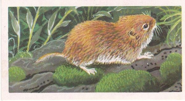 Brooke Bond & Co. Ltd. No. 28 The Field Vole or Grass Mouse