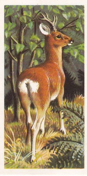 Brooke Bond Tea Ltd. No. 06 The Roe Deer