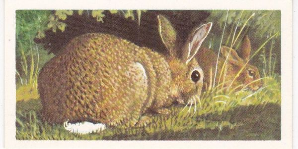 Brooke Bond (Great Britain) Ltd. No. 23 The Rabbit