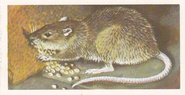 Brooke Bond (Great Britain) Ltd. No. 25 The Common or Brown Rat