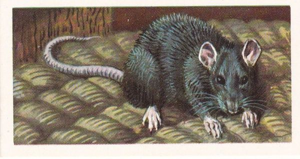 Brooke Bond & Co. Ltd. No. 24 The Black or Old English Rat