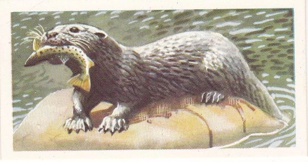 Brooke Bond (Great Britain) Ltd. No. 11 The Otter