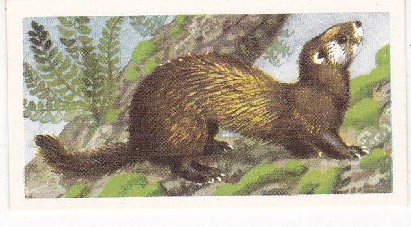 Brooke Bond (Great Britain) Ltd. No. 12 The Polecat