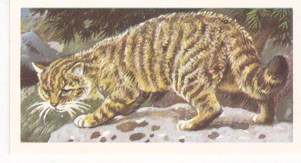 Brooke Bond (Great Britain) Ltd. No. 18 Scottish Wild Cat
