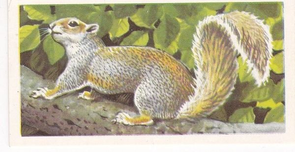 Brooke Bond (Great Britain) Ltd. No. 19 The Grey Squirrel
