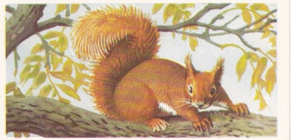 Brooke Bond (Great Britain) Ltd. No. 20 The Red Squirrel