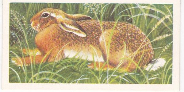 Brooke Bond (Great Britain) Ltd. No. 22 The Brown Hare