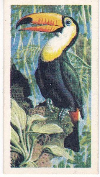 No. 21 Toco Toucan