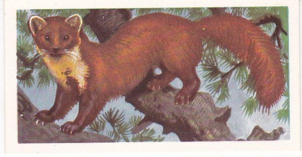 Brooke Bond (Great Britain) Ltd. No. 13 The Pine Marten