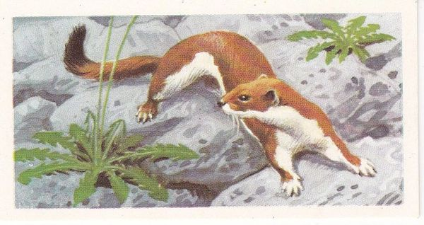 Brooke Bond (Great Britain) Ltd. No. 14 The Stoat