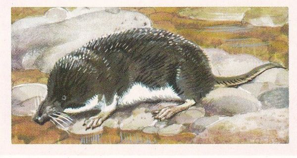 Brooke Bond & Co. Ltd. No. 30 The Water Shrew