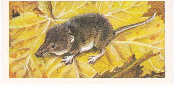 Brooke Bond & Co. Ltd. No. 31 The Lesser or Pygmy Shrew