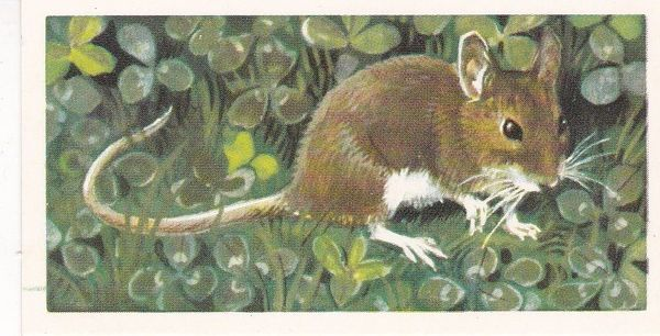 Brooke Bond & Co. Ltd. No. 33 The Long-Tailed Field Mouse or Wood Mouse