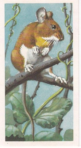Brooke Bond & Co. Ltd. No. 34 The Yellow-Necked Mouse