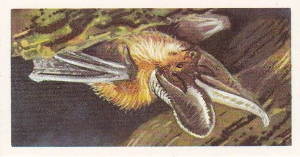 Brooke Bond (Great Britain) Ltd. No. 37 The Long-Eared Bat
