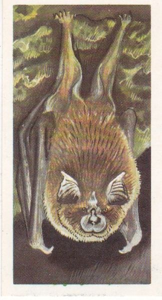 Brooke Bond (Great Britain) Ltd. No. 38 The Greater Horseshoe Bat
