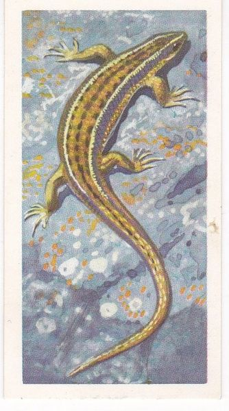 Brooke Bond (Great Britain) Ltd. No. 41 The Common Lizard