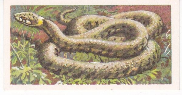 Brooke Bond (Great Britain) Ltd. No. 42 The Grass Snake