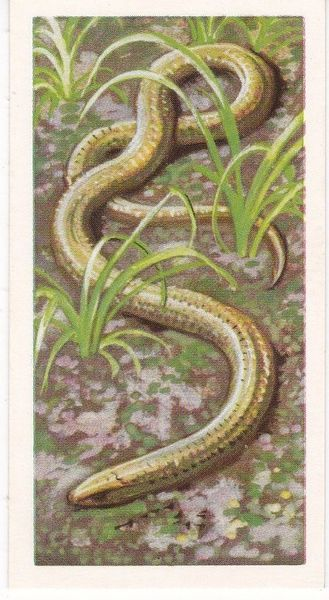 Brooke Bond Tea Ltd. No. 44 Blindworm or Slow-Worm