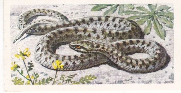 Brooke Bond Tea Ltd. No. 45 The Smooth Snake