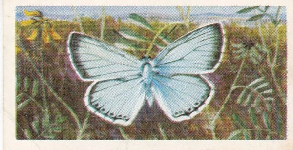 No. 31 Chalkhill Blue