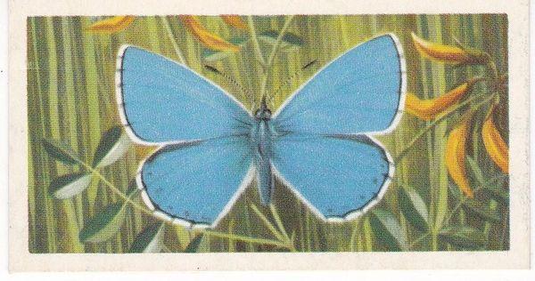 No. 32 Adonis Blue