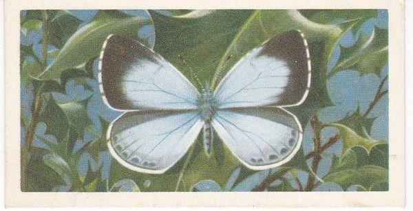 No. 33 Holly Blue