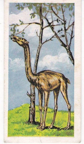 No. 49 Giraffe Camel