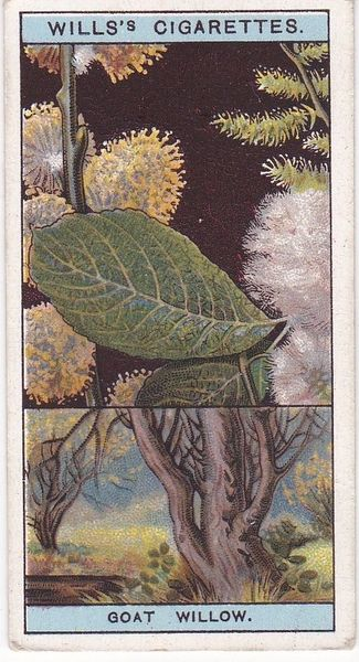 No. 49 Goat Willow, or Sallow