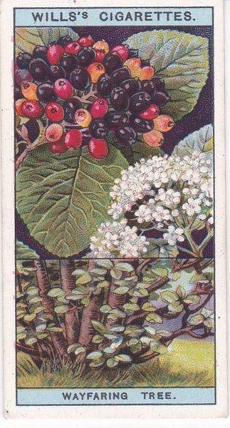 No. 46 Wayfaring Tree