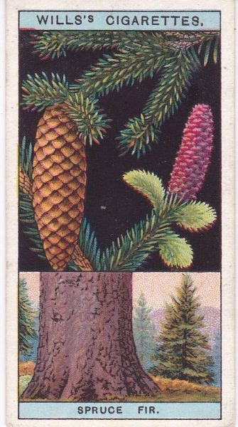 No. 43 Spruce Fir, or Norway Spruce