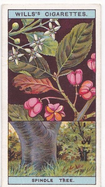 No. 42 Spindle Tree