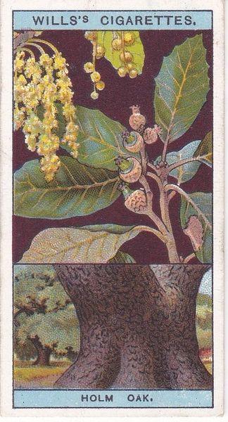 No. 35 Holm Oak