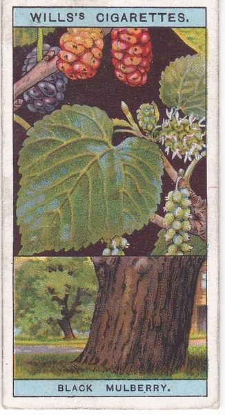 No. 33 Black Mulberry
