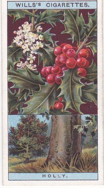 No. 25 Common Holly