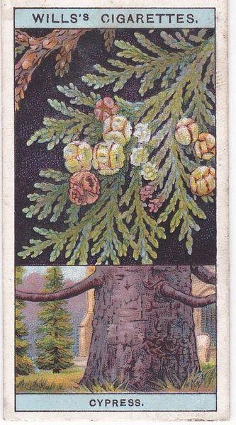 No. 17 Lawson's Cypress