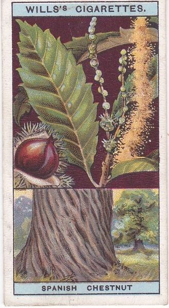 No. 16 Sweet or Spanish Chestnut