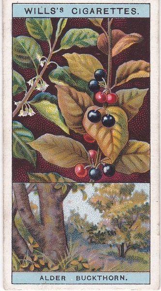 No. 13 Alder Buckthorn, or Berry-bearing Alder