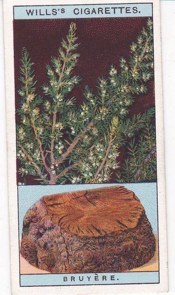 No. 12 Bruyere (Briar), or Tree Heath