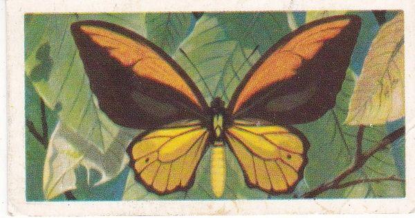 No. 19 Papilla (Ornithoptera) priamus croesus