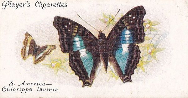 No. 28 Foreign Butterflies: South America - Chlorippe lavinia