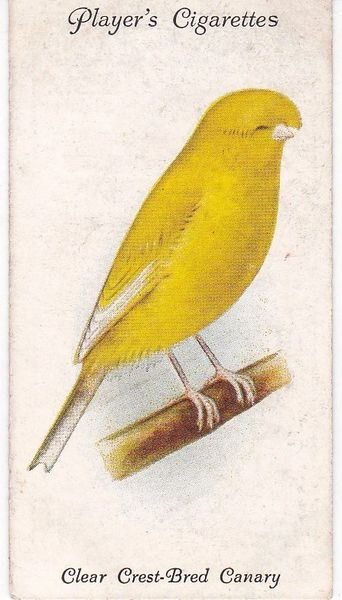 No. 03 Clear Crest-Bred Canary
